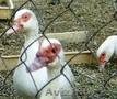Индоутки белые (селезни и утки)