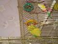 Попугай корелла и волнистый