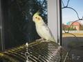 попугай чуть больше волнистого