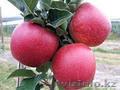 Яблоки,  Кабардино-Балкария