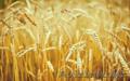 Пшеница 3-4-5 класса